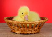Little duckling in wicker basket on table on red background — Stock Photo