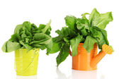 Fresh herbs in colorful watering can and pail isolated on white — Stock Photo