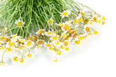 Many chamomile isolated on white — Stock Photo