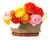 Ranunculus (persian buttercups) in basket, isolated on white — Stock Photo
