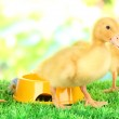 Cute ducklings with drinking bowl on green grass, on bright background — Stock Photo