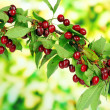 Twig with cherries in garden — Stok fotoğraf