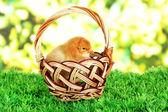 明るい背景に草の上の枝編み細工品バスケットに小さな鶏 — ストック写真