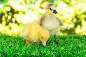 Little ducklings on grass on bright background — Stock Photo
