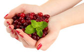 Woman hands holding ripe red cranberries, isolated on whit — Stock Photo