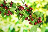 Twig with cherries in garden — Stock Photo