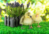 Little ducklings with flower on grass on bright background — Stock Photo