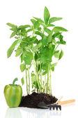実生植物の庭ツールを白で隔離されるコショウします。 — ストック写真