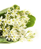 Beautiful mountain daffodils, isolated on white — Stock Photo