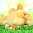 Cute ducklings on green grass, on bright background — Stock Photo