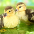 Cute ducklings swimming, on bright background — Stock Photo