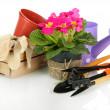 Stock Photo: Beautiful pink primulin flowerpots and gardening tools, isolated on white