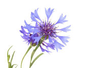 Beautiful cornflowers ,isolated on white — Zdjęcie stockowe
