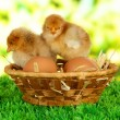 Little chickens with eggs in wicker basket on grass on bright background — Stock Photo
