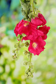 Pink mallow flowers in garden — Stock Photo