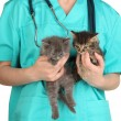 Stock Photo: Veterinarian examining kittens isolated on white