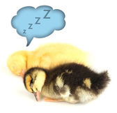 Sleeping cute ducklings isolated on white — Stock Photo