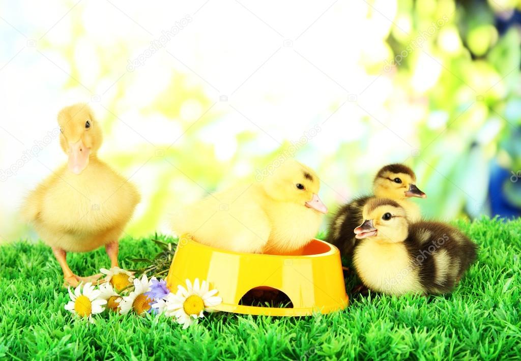 可爱小鸭与绿色草地上