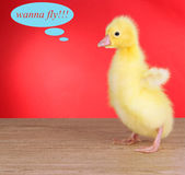 Little duckling on table on red background — Stock Photo