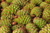 Green pine cones, close up — Stock Photo