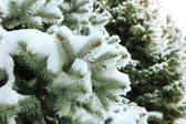 Spruce tree with fresh snow outside — Stock Photo