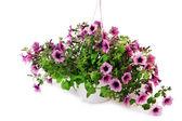 Petunia violet en pot de fleurs sur fond rose clair — Photo