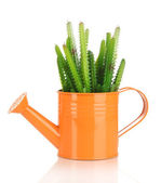 Cactuses in watering can isolated on white — Stock Photo