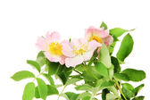 Hip rose flowers, isolated on white — Stock Photo