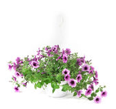 Purple petunia in flowerpot isolated on white — Stock Photo