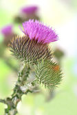 Thistle flowers on nature background — Stock Photo