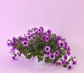 Purple petunia in flowerpot on light purple background — Stock Photo