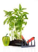 Paprika plantor med trädgårdsverktyg isolerad på vit — Stockfoto