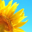 Beautiful sunflower on blue sky background, close up — Stock Photo