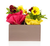 Beautiful pansies flowers in wooden crate isolated on white — Stock Photo