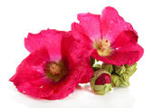 Pink mallow flowers, isolated on white — Stock Photo