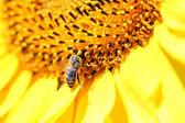 美丽的向日葵上的蜜蜂关闭 — 图库照片