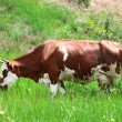 Stock Photo: Cow on summer pasture