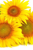 Sunflowers close-up — Stock Photo