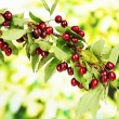 Twig with cherries in garden — Foto Stock