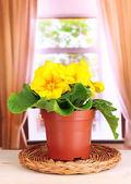 Beautiful yellow primula in flowerpot on wooden window sill — Stock Photo