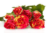 Piękne czerwono żółte róże na białe tło zbliżenie — Zdjęcie stockowe