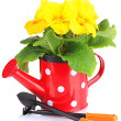 Beautiful yellow primula in watering can, isolated on white — Foto Stock