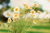 Small chamomiles close up — Stock Photo