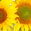 Stock Photo: Sunflowers close-up