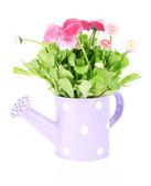Papatya çiçekleri beyaz izole — Stok fotoğraf
