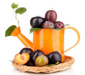 Rip plums in watering can on the wicker cradle isolated on white — Stock Photo