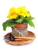 Krásný žlutý prvosenka v květináč, izolované na bílém — Stock fotografie