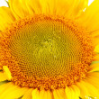 Stock Photo: Sunflower close-up