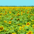 Stock Photo: Beautiful sunflowers field