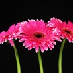 Beautiful pink gerbera flowers on black background — Stock Photo